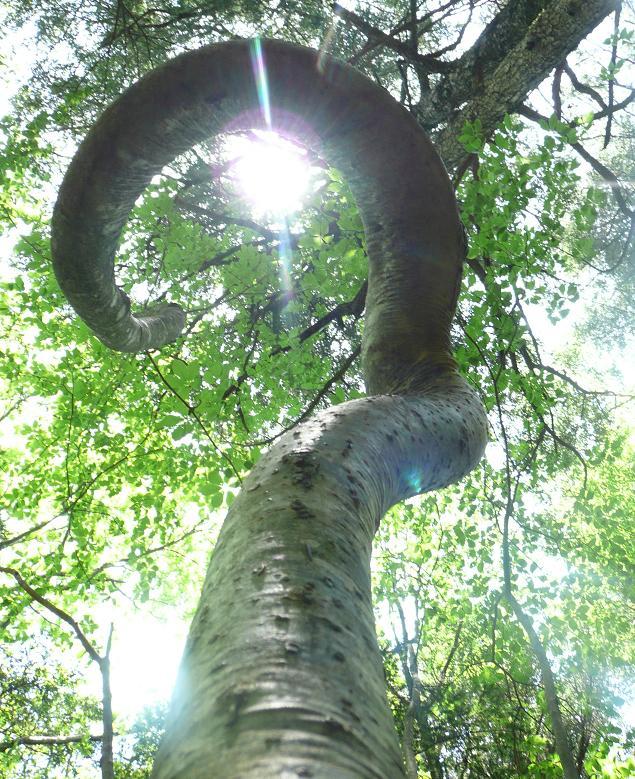 樹海では、しばしば変った樹型の奇木に出逢うこと