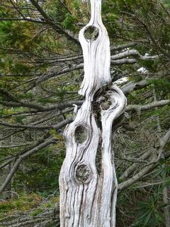 ピカソの樹.JPG