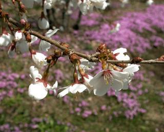 (1)富士桜フジザクラ.JPG